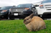 Rabbits feed on the grass at the Richmond Auto Mall