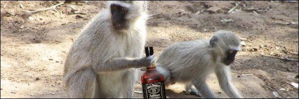 vervet monkey on St. Kitts