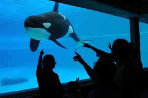 Kiska, an orca whale, lives in solitary confinement at Marineland, Canada. 2011