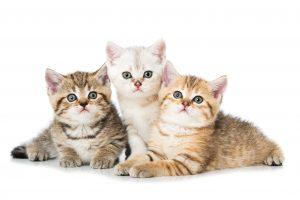 Les chats devraient-ils boire du lait?