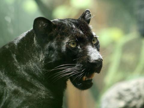 veľký čierny korisť mačička videá