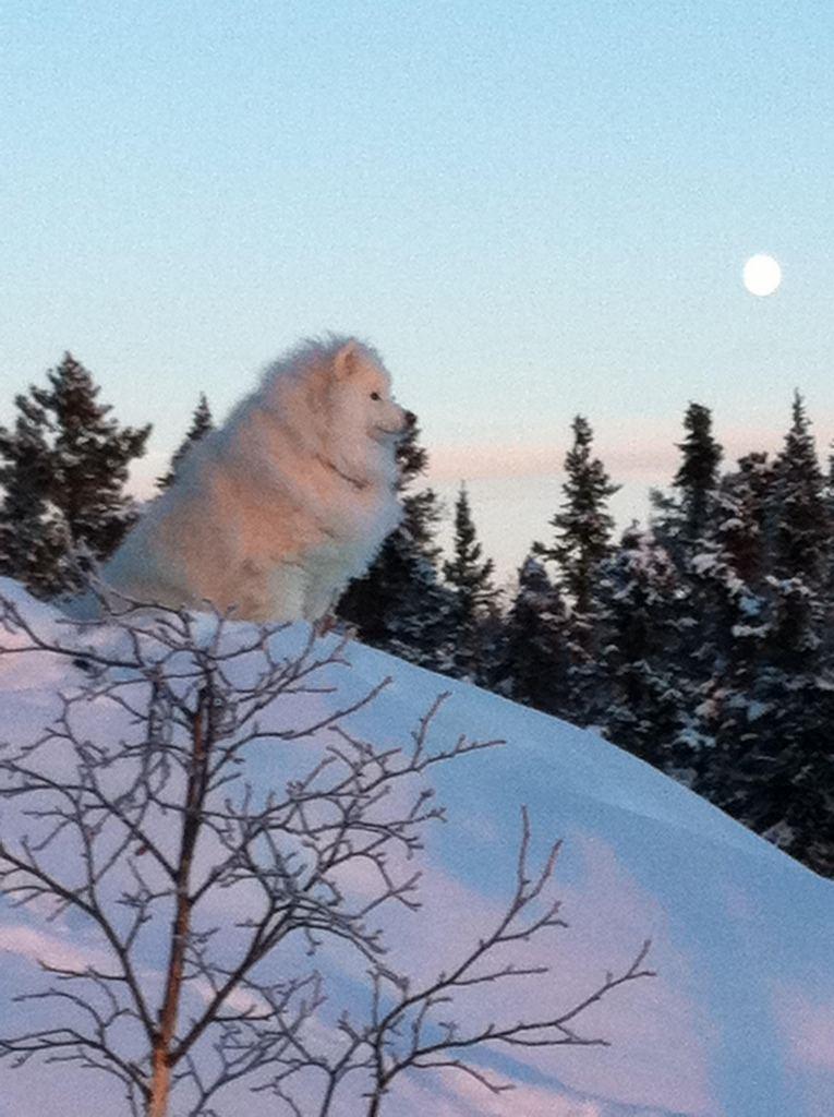 Самоедская собака (Samoyed)