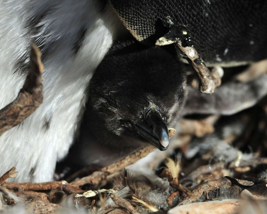 Магелланов пингвин, или магелланский пингвин (лат. Spheniscus magellanicus)