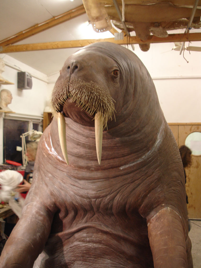 Life-size animatronic walrus in our workshop