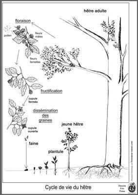 Cycle De Vie D'un Arbre : cycle, arbre, Outils, Pédagogiques, Imprimer, Thème, Cycle, Végétaux