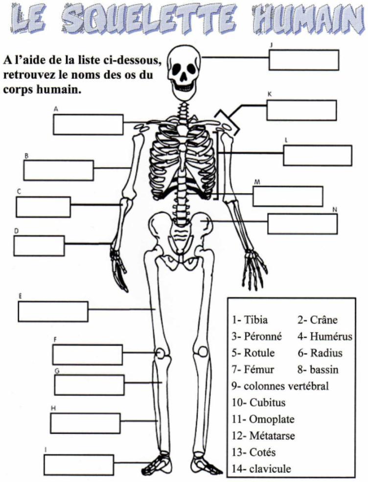 os du corps humain