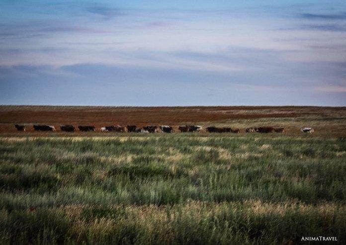 Коровы убегают от звуков бубна