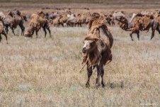 Верблюды на юге Казахстана