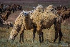 Верблюды