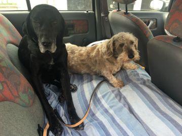 Fido et Didi en voiture. Fido, le doyen de 14 ans, atteint d'arthrose, avait tombé de la banquette, malgré une conduite très très douce.