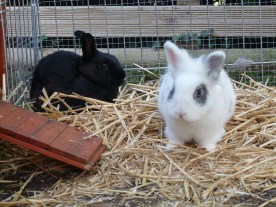 Praline (la noire) et Nougat (le blanc) dans leur nouvelle vie