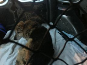 Une bénévole l'a mis dans la voiture toute seule, tellement il est maigre. Un vieux chien rongé par la douleur en route vers une nouvelle vie !