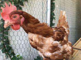 Missy, une des 200 poules pondeuses destinées à l'abattoir que nous avons rescapées en mai 2018.