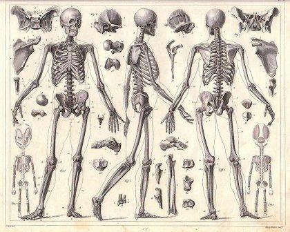 human-skeleton-johan-georg-heck