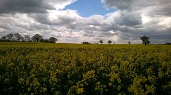 Yellow Fields Shire