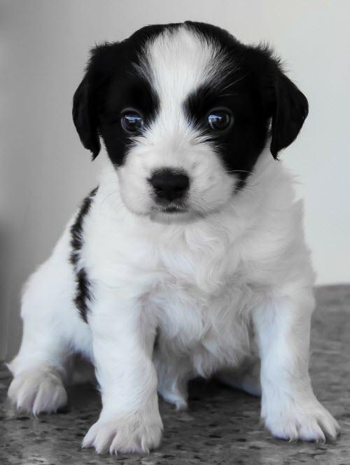 Chien Le Plus Beau Du Monde : chien, monde, Beaux, Chiots