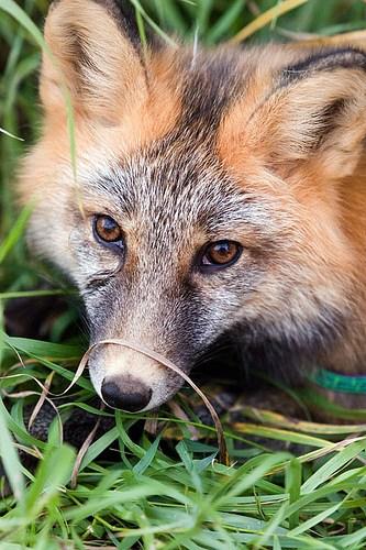 Alaska Zoo Red Fox.jpg