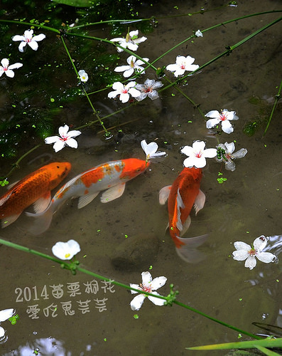 2014油桐花_026.jpg