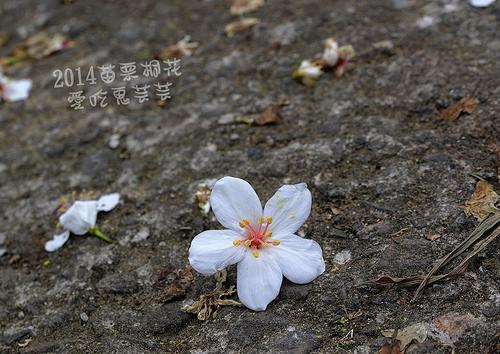 2014油桐花_058.jpg