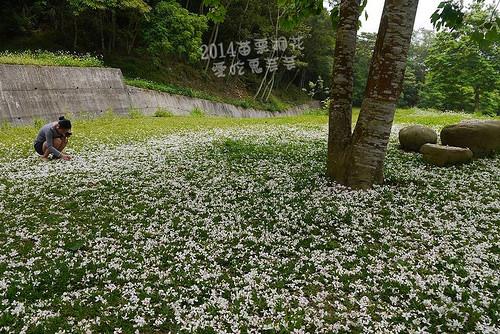2014油桐花_072.jpg