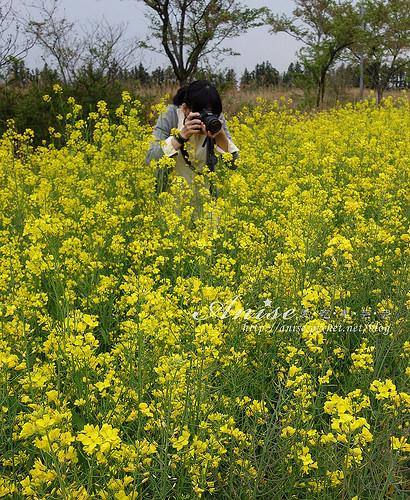 6濟州島油菜花_002.jpg