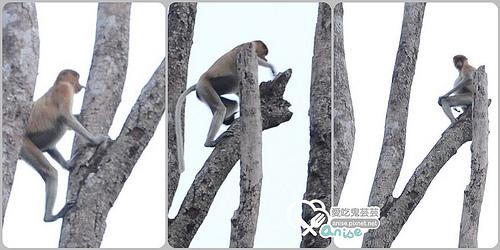 沙巴景點.迪加島Pulau Tiga火山泥浴、白沙島浮潛、克里亞斯河Klias River長鼻猴、螢火蟲@2014沙巴小旅行