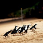即時熱門文章:澳洲墨爾本.市區半日遊、企鵝島看企鵝搖擺屁股回家
