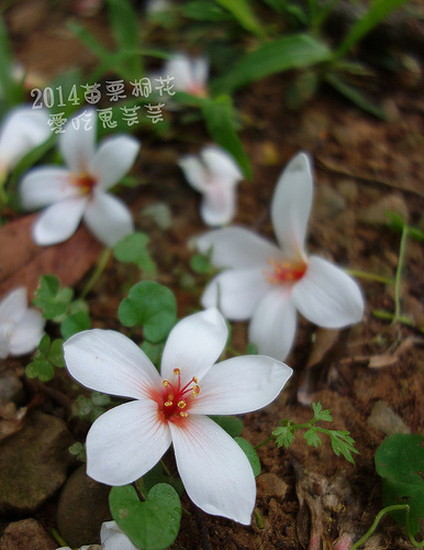 2014苗栗油桐花(4.22花況) 圖超多 @愛吃鬼芸芸