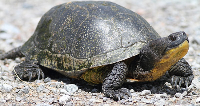 Image result for blanding's turtle