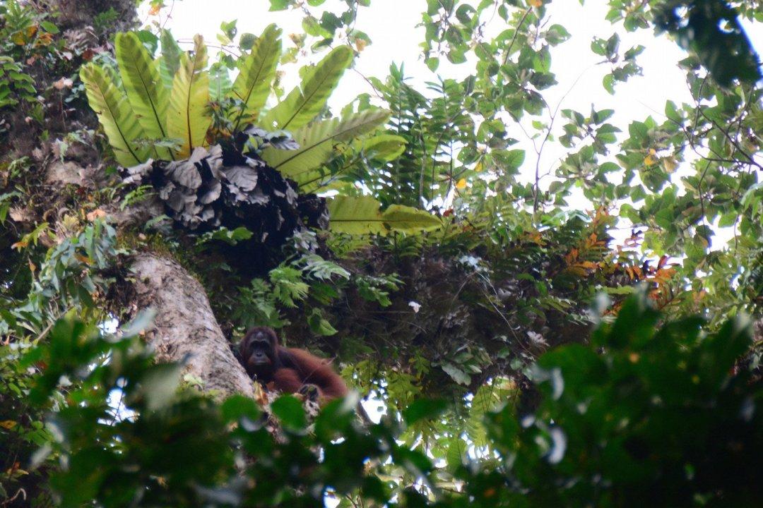 Orangutan - Top 5 Incredible Indonesia Experiences (besides Bali)