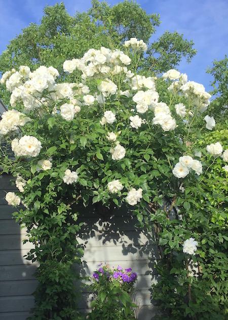 dagdroomtuin.rozen