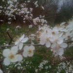 To look at things in bloom Fifty springs are little room,