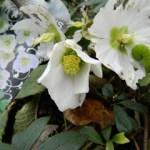 Beautiful Flowers in our Winter Garden, Oxford, Jan 11, 2012