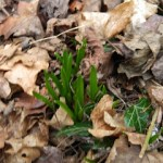 The First Rumours of Spring in my garden!