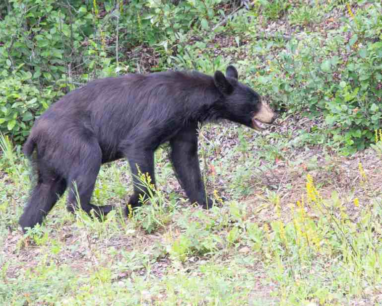 Can we learn anything from animals that hibernate? Absolutely! #blackbear #hibernation #rest #sabbathrest #improveyourphotography #write28days #blogger #instagrammer #photogrpahy #DSLR #camera #selfcare