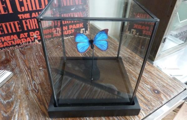 "Blue butterfly in cloche 8.5"" tall £40"
