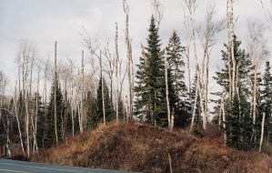 dying birch northwest of Silver Bay coal fired plant