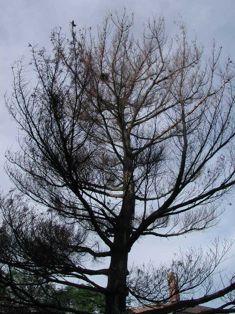 Farewell my beauty ... / white pine / fir tree / photo