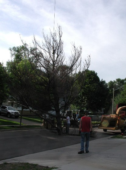 Crown standing / white pine removal / photo