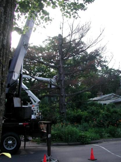 white pine removal / photo
