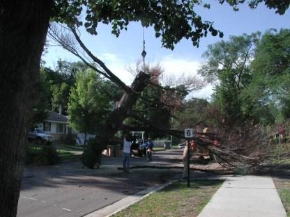 Gentle giant ... Spirit tree / white pine removal / photo