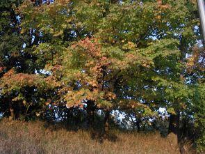fall_color_trees_Edina