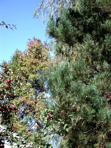 Apples and Pine / photo