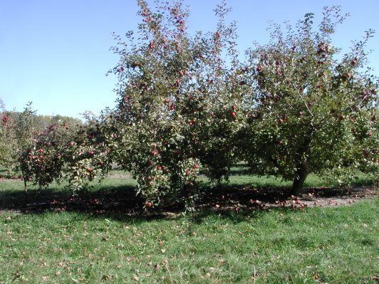 Apple Tree 119 / photo