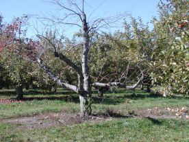 spirit apple tree / photo