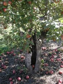 old apple tree 129 / photo