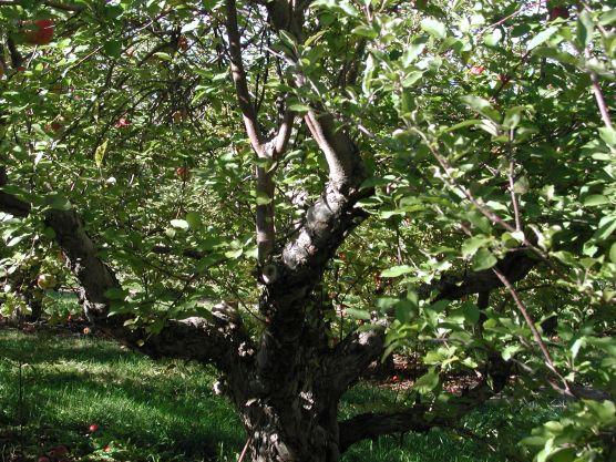 Old Apple Tree 137 / photo