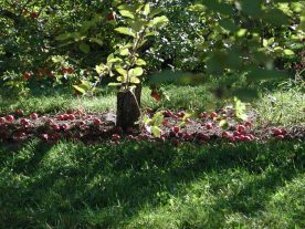 Old Apple Tree 138