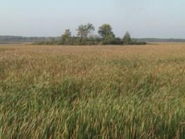 cattail marsh