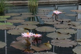 water-lilies_0147